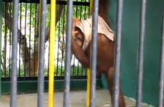 VIDEO:  Orangutan rips t-shirt off tourist...