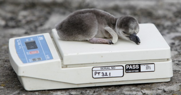 Oh, just some newborn penguins...