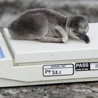 Oh, just some newborn penguins...