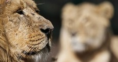 Photos: Kumar the Lion settles into new home at Dublin Zoo