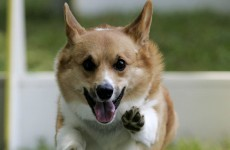 16 reasons you should pay more attention to corgis