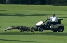 A 3-legged alligator takes to the fairway at the Zurich Classic