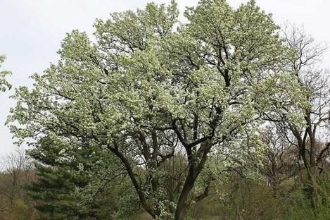 The culprit - the Bradford Pear tree.