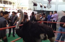 Why was there an Ostrich at the Arrested Development premiere?