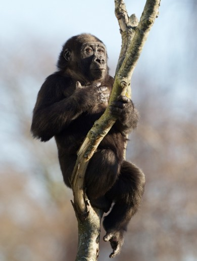 Kafi the orphaned gorilla finds a home at Dublin Zoo