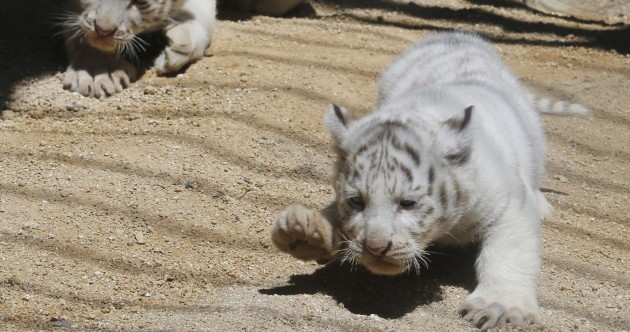 Come here and meet these four newborn tiger cubs