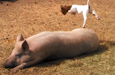 VIDEO: Just a baby goat dancing on a huge pig