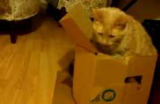 Fat cat sinks slowly and hilariously into a box