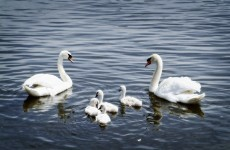 Investigation launched after 32 swans found dead in Donegal lake