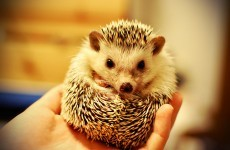 8 reasons hedgehogs need you