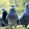 Pigeons force Aer Lingus flight to abandon trip to London
