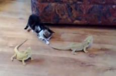 So it turns out that kittens are really, really scared of lizards