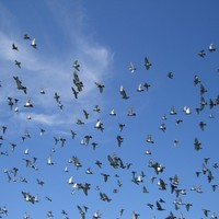Pigeon v Plane: The costly battle to keep the airspace bird-free