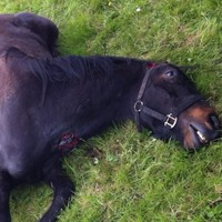 Graphic images show horse's mauled body in North Dublin