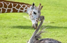 9 unlikely animal friendships that will put a smile on your face
