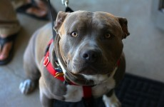 Californian man charged with murder after his pitbulls maul a jogger