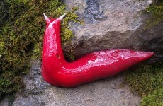 Giant flourescent pink slug discovered in Australia
