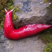 Giant flourescent pink slug discovered in Australia