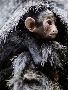 Ah, would you look at the new baby white-faced saki at Dublin Zoo...