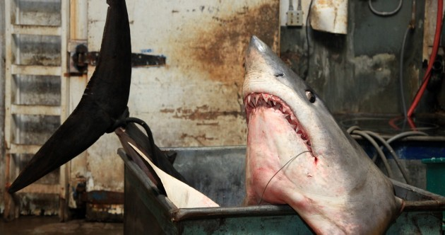 SHARK! Record 94 stone shark caught after 2 1/2 hour battle