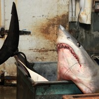 SHARK! Record 94 stone shark caught after 2 1/2 hour battle