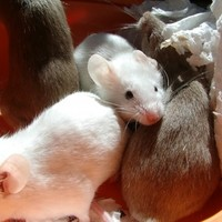 Pizzeria owner accused of planting mice to sabotage rivals