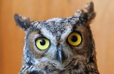 Owl dies after being kicked by soccer player