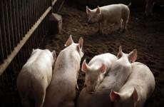 China pig farm 'pumped dissolved carcasses into river'
