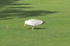 Dublin seagulls are maniacs on the dancefloor