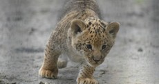 This is a liliger - three quarters lion, one quarter tiger