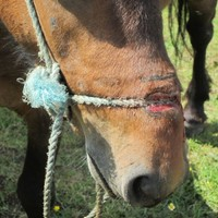 Sligo man charged with keeping a pony tied up for so long the rope tore her face