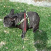 Hilarious French bulldog is scared of his own farts
