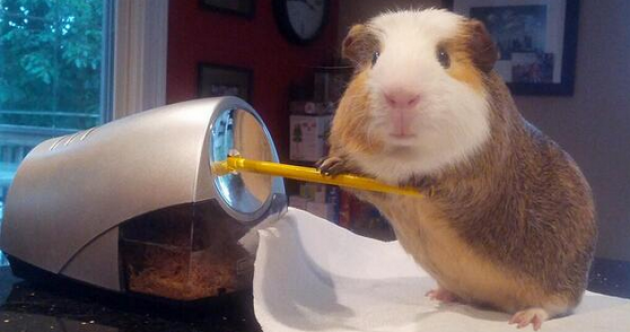 If this doesn't make you rush out and purchase a guinea pig...