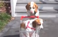 WATCH: Dog takes puppy on impressive and adorable journey