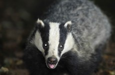 This badger is better at tweeting than you