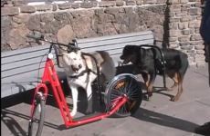 Dog powered scooters? TAKE OUR MONEY!