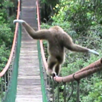 This monkey is a tightrope walking genius