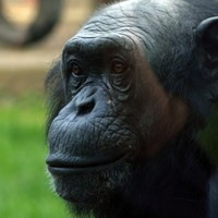 Remembering the PG Tips chimp...