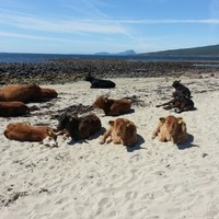 PIC: Several cows catching some rays in the Mayo sun