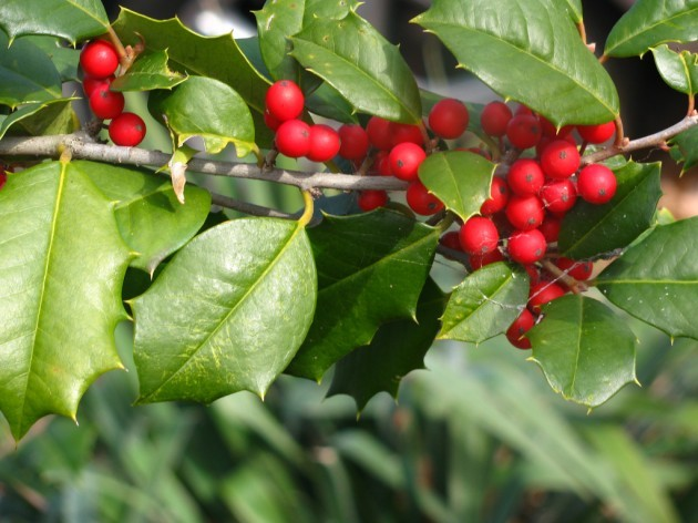 holly tree
