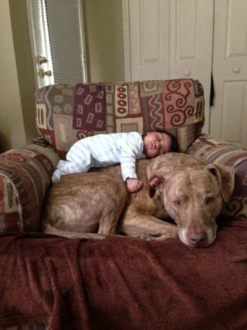 A baby and a 125lb Pit Bull - Imgur
