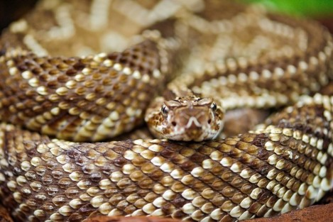 Rattlesnake with nice pattern