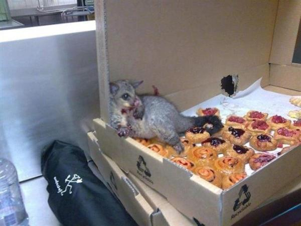 A possum broke into an Australian bakery and ate so many pastries it couldn't move. This is how they found him. - Imgur