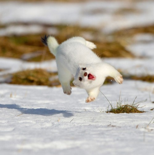 a happy stoat - Imgur