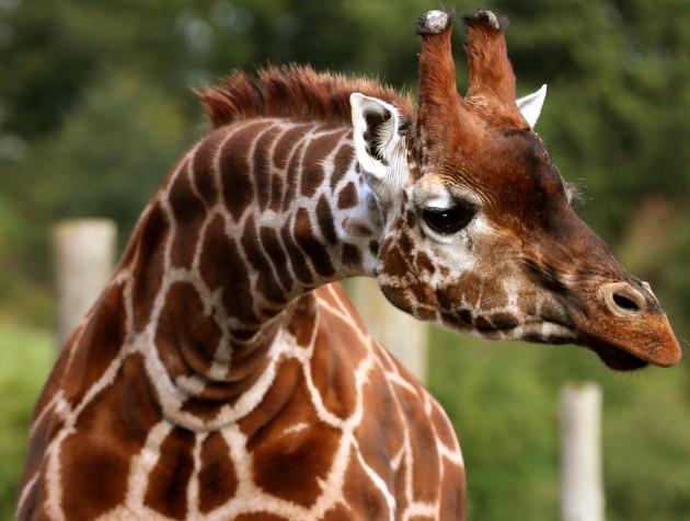 Super-tall trailer carries giraffes