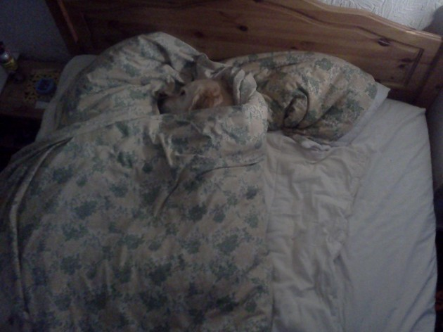 My last upload crashed and burned, so here is my dog tucked up in bed. - Imgur