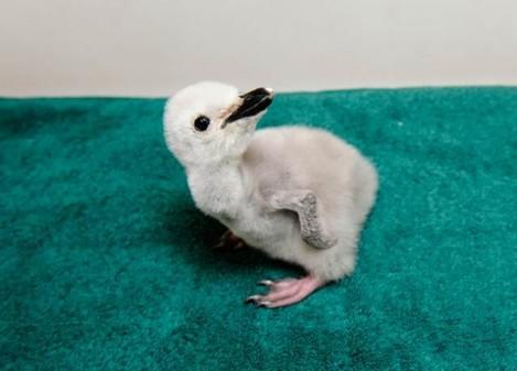 Newborn penguin - Imgur