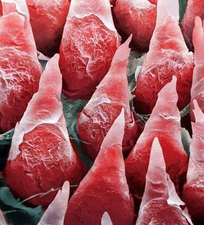 Image result for tongue under microscope