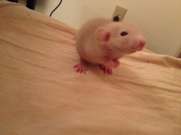 This is my new baby rat Wiz Khalifa - Imgur