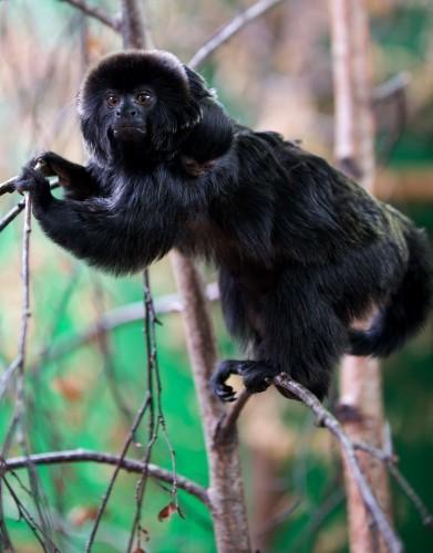 Dublin Zoo Goeldis Monkey 2